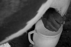 Milking a cow Stock Images