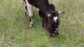 Milking cow on meadow stock video footage