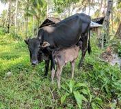 Milking cow Stock Photos