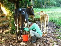 Milking the Cow Royalty Free Stock Image