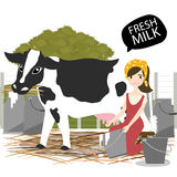 Milking of a cow. Royalty Free Stock Photo