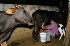 Milking cows - Colombia. Milking cows in RIVERA . Department of Huila. COLOMBIA Royalty Free Stock Photo