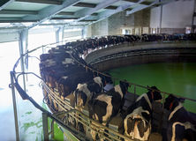 Milking cows at dairy farm rotary parlour system Royalty Free Stock Image
