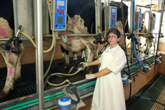 Milking Cows on Farm. Woman milking cows on farm royalty free stock image