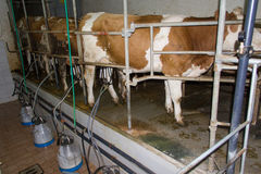 Milking cows. On a farm breeding Stock Image