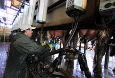 Milking cows at farm Stock Images