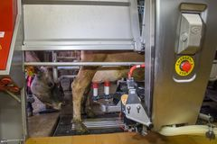 Milking the cows with a fully automated milking robot royalty free stock photography