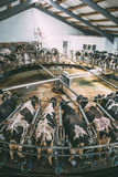 Milking cows at round rotary parlour system on dairy farm royalty free stock photos
