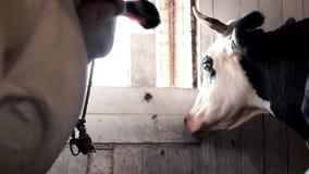 Milking cows standing in barn on a milk farm. Milking cattle in cowshed. Milking cows standing in barn on a milk plant. Close up milking cows on dairy farm. Cow stock footage