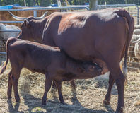 Milking Devon Cow and Calf Stock Photography
