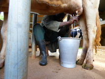 Milking. A farm worker miking a cow for milk products in the farm Royalty Free Stock Image