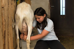 Milking a goat. Little girl milking a goat in a goat shed royalty free stock image