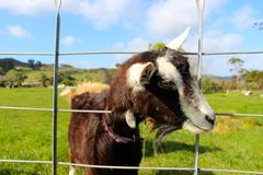 Milking goat putting head through fence Royalty Free Stock Images