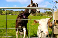 Milking goat putting head through fence. New Zealand coromandel Stock Photography