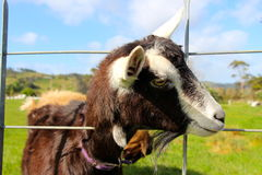 Milking goat putting head through fence. New Zealand coromandel Stock Photo