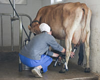 Milking a Jersey Royalty Free Stock Image
