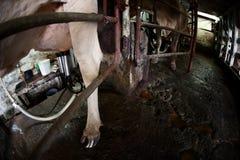 Milking Machine Stock Photography