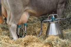 Milking machine. Hand carried milking machine in biological dairy cattle growing Royalty Free Stock Images