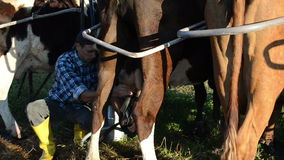 Milking machine cow. Cow stands enclosures a young farmer milking cows with a portable milking machine into cans circa June 2013 in Limonys stock video