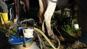 Milking machine pump milk. Closeup of special milking equipment pumping cow milk to can and farmers stock video footage
