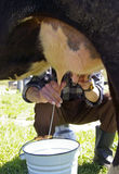 Milking Of A Cow Royalty Free Stock Photography