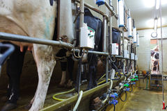Milking parlor Royalty Free Stock Photos