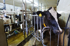 Milking parlor Royalty Free Stock Photography