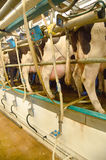 Milking pumps fitted to cows udders on a farm. A modern pit type high speed milking station with pumps fitted to cows udders, on a dairy farm Stock Photo