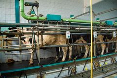 Milking room on a cow farm dairy business, agribusiness, liveli Stock Images