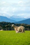 Milking Sheep. A mother wool sheep providing milk to her baby sheep with snowy mountain in the background Stock Photos
