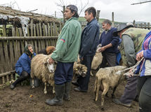 Milking sheep in Brezovica on the mountain household Royalty Free Stock Images