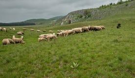 Milking sheep in Brezovica on the mountain household Royalty Free Stock Photos