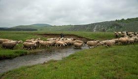 Milking sheep in Brezovica on the mountain household Stock Photos