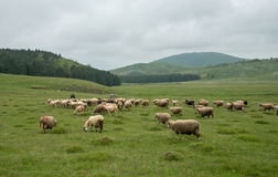 Milking sheep in Brezovica on the mountain household Stock Images