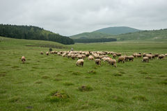 Milking sheep in Brezovica on the mountain household Royalty Free Stock Image