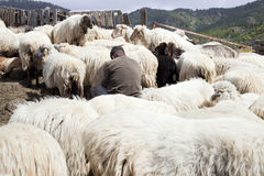 Milking sheep in the mountains of Gran Canaria Stock Photo