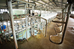 Milking system. Automatic milking system in cow farm. Agriculture and industrialization Stock Photos