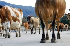 Milking time at the dairy. A herd of Jersey cows gather in the yard for milking on a West Coast dairy farm, New Zealand Stock Photo