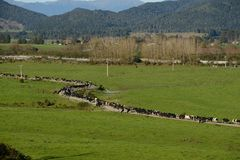 Milking time. A herd of cows makes its way to the shed for the afternoon milking on the West Coast of New Zealand Royalty Free Stock Image