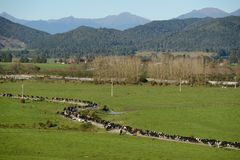 Milking time. A herd of dairy cows makes its way to the shed for the afternoon milking on a West Coast farm, New Zealand Royalty Free Stock Photos