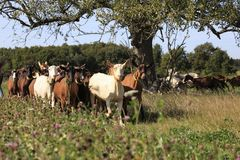 Milking time !!!. Herd of goats rushing back to their farm at milking time royalty free stock image