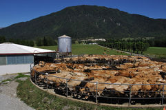 Milking time. Herd of Jersey cows yarded for milking, West Coast, New Zealand Royalty Free Stock Photo