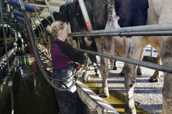 Milkman milks cows in milking facility Stock Photography