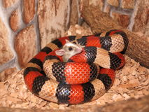 Milksnake eat the mouse Royalty Free Stock Image