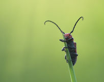 milkweed жука Стоковые Фото