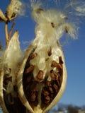 milkweed Royaltyfria Bilder