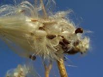 milkweed Arkivbild