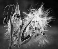 Milkweed Royaltyfria Foton