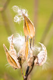 Milkweed. Pod opening in bloom royalty free stock photo