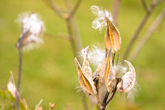 Milkweed Royalty Free Stock Photos